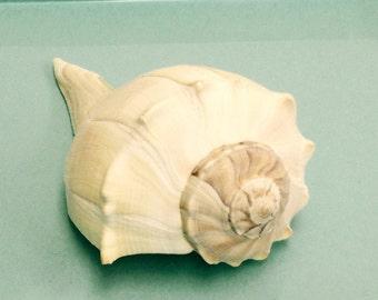 """Beach Decor - Whelk Seashell - 6"""" - sea shells"""