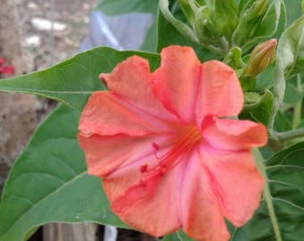 Four O'clock 'Salmon Sunset' Seeds / 4 O'clock / Mirabilis jalapa