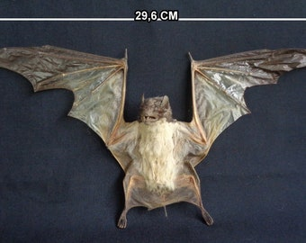 Chiroptera: Taphozous saccolaimus freeze dried spread