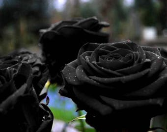 35 Black Rose Seeds, Rare Rose Seeds, Exotic Dark Rose, Flower Seeds, Perennial ,Growing Roses from Seeds, Planting Rose, Rose Bushes