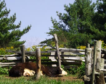 Sacked Out Cow Wall Art Photo Download