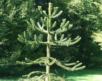 TreesAgain Potted Monkey Puzzle Tree - Araucaria araucana - 3 to 7+ inches