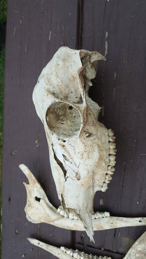 14 huesos de venados grandes. Huesos. Cráneo de ciervo. Huesos de la ...