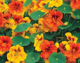 NASTURTIUM Seeds (mixed colours)
