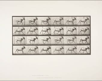 Poster, Many Sizes Available; Goat Galloping Rbm Qp301M8 1887 679