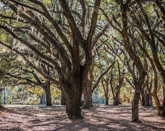 Oak Trees in Park