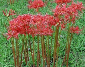 30 Red Spider Surprise Lilly Bulbs-Heirloom-Arkansas Delta-90 plus years Old