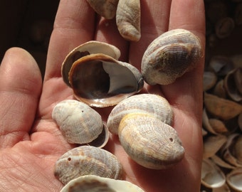 Lady slipper shells, beach sea shells