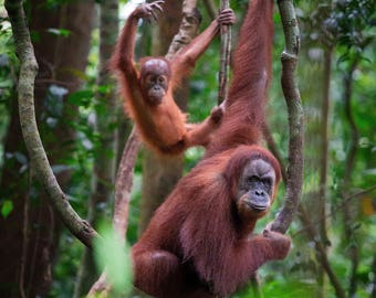 Baby and Mother Orangutan - Bukit Lawang Sumatra