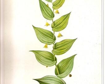 REDOUTE Vintage 1990 FLOWERS Botanical Print Original Book Plate 28 Solomon's Seal Beautiful Plant Green Leaves Yellow Bell Flowers Berries