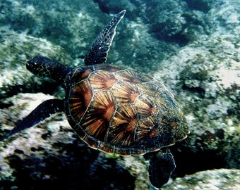 Green Honu (turtle)