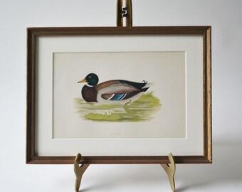 Antique Hand Colored Wood Engraving Mallard Duck Wild Duck Nature Bird Framed Wall Art Gallery Art