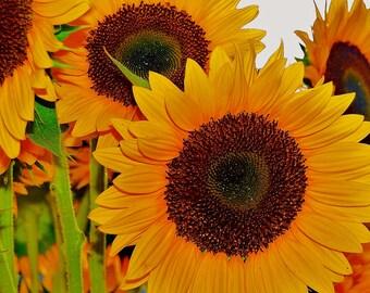 Nature Photography -  Orange Tinted  Sunflowers - Travel, Botanical, Farmer's Market, Floral, Flower, Fine Art Photography