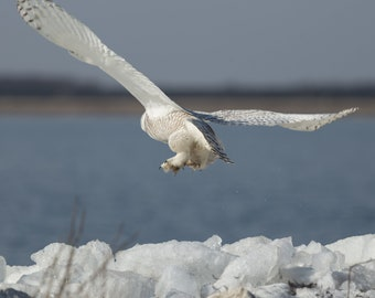 Snowy Owl. taking off