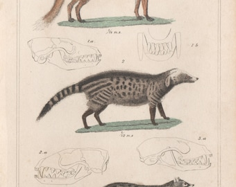 Fox, Genet and Civet - Antique engraving with original hand-colouring, 1837