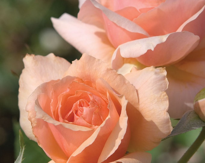 Apricot Candy ™  Rose Bush - Own Root Rose Reblooming Fragrant Apricot Orange Flowers Grown Organic Potted Spring SPRING SHIPPING