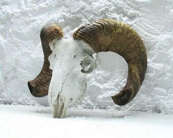 Ram Skull with chopped Horns