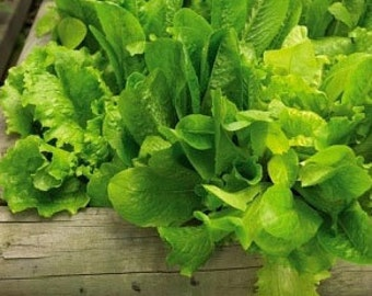 Organic Salad Bowl Green Lettuce Heirloom Vegetable Seeds