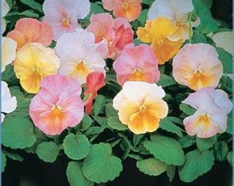 APA) ANTIQUE SHADES-Pink Pansy~Seeds!!~~~~~~~~Soft Sweeties!