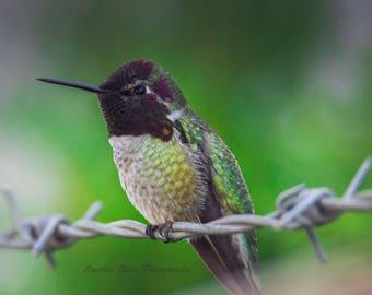 8 x 10 print of Male Anna's Hummingbird