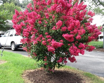 30 Dwarf Red Rocket Crape Myrtle Seeds-1195D