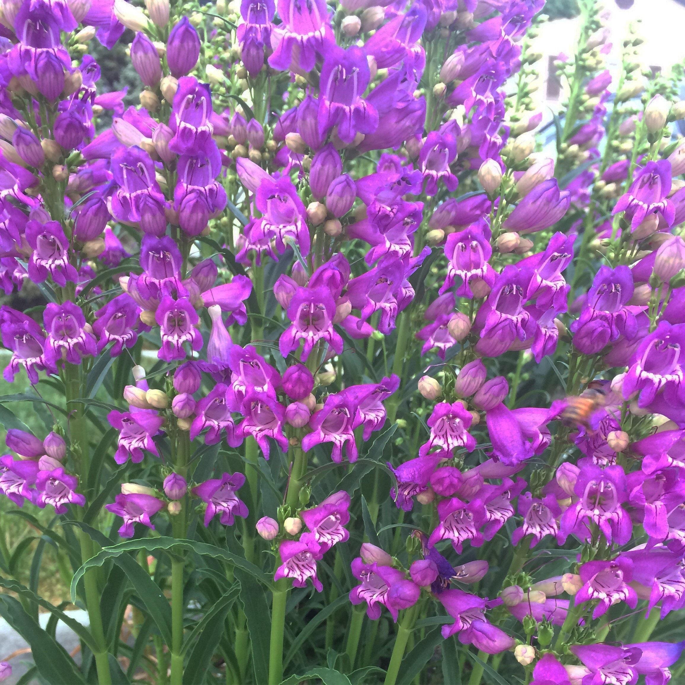 Sale Rocky Mountain Penstemon Purple Perennial Bee Friendly Flowers