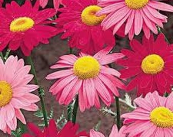 PAINTED DAISY SEEDS 25 Fresh seed ready to plant in your garden