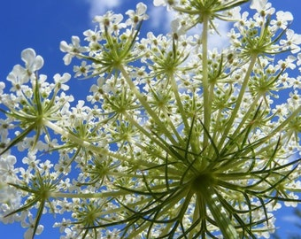 SALE - Spray - 5x7 Queen Anne's Lace Flower Photograph - IN STOCK
