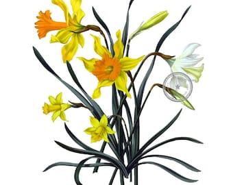 Daffodils Vintage Clip Art- Floral Clipart- Flower digital art- Botanical Illustration- Printable art- Png- Instant Download- (VF-018)