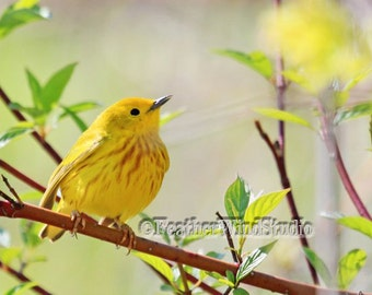 Yellow Warbler | North American Spring Bird Photo | Pretty Songbird | Birder Gift Idea | Avian Home Decor | Girls Room Wall Art | Bird Print