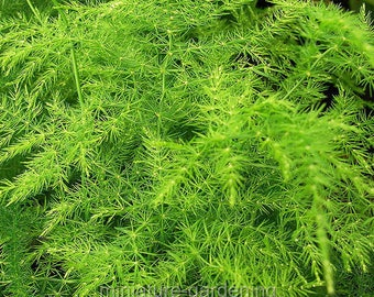 Asparagus setaceus, Asparagus Plumosa, Plumosa Fern for Miniature Garden, Fairy Garden