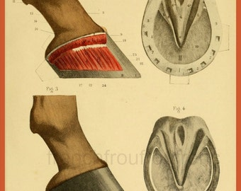 antique french anatomy print horse hoof morphology illustration DIGITAL DOWNLOAD