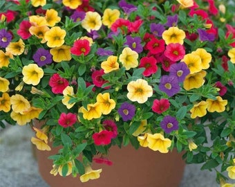 Mixed Bonsai Petunia Hybrid  200 seeds   for hanging baskets yellow purple red  flowers