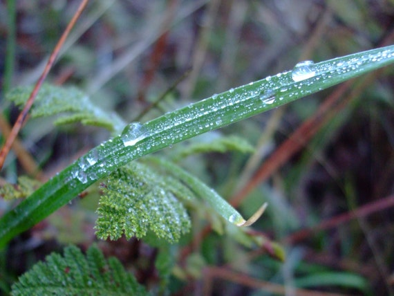 Dew Drops on Blade of Grass--triple matted signed framed nature photo
