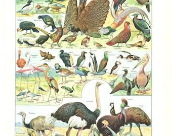 1922 antique bird print bird poster vintage bird illustrations bird wall hanging Bird gift Bird decor Ornithology gift Ostrich art Bird art