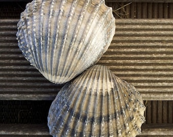 Seashell sea shell grey/sand