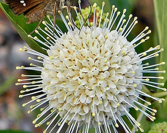 Buttonbush, Cephalanthus occidentalis, Button Willow, Nectar for Pollinators, Food for Birds, 3 Gallon, FREE Shipping!