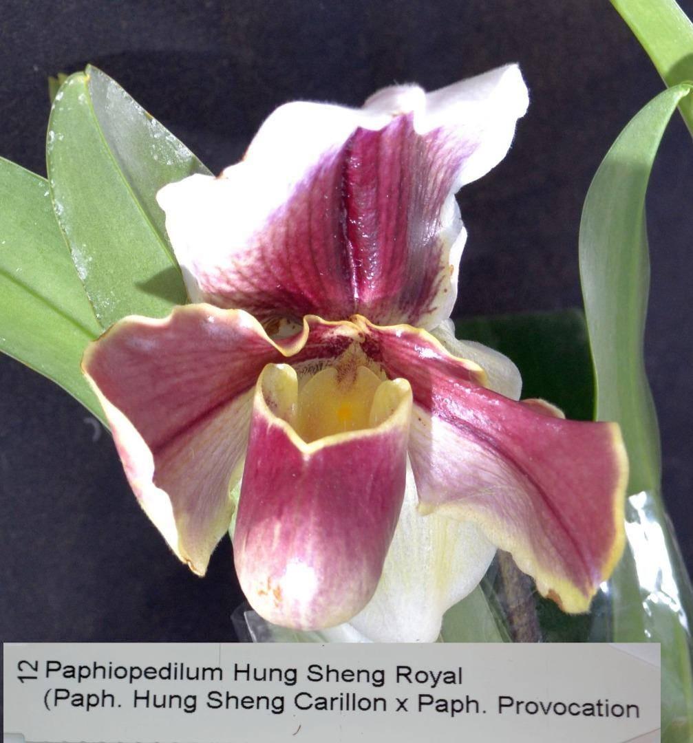 Bin Paphiopedilum Hung Sheng Royal Bare Root S883 873165