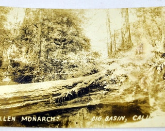 Vintage Real Picture Post Card RPPC - Fallen Monarch - Big Basin, California - Giant Redwood - Unposted