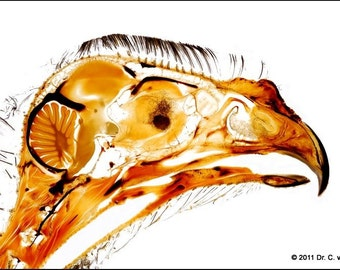 Print of a gyr falcon head sheet plastination specimen
