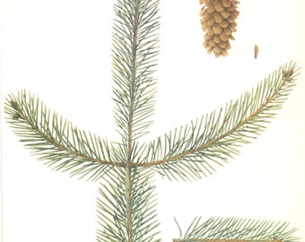 Sitka Spruce Pine Cone, Vintage Tree Print, Botanical Book Plate 52, Evergreen, Nature, Landscape, Frameable Art, 1977, Raymond