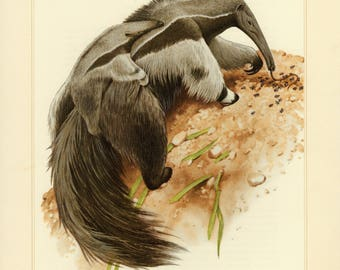 Vintage lithograph of the giant anteater from 1956