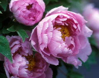 Fine Art Giclee print. Garden nature photograph. Gorgeous lush Old Fashioned Peony Showy rose colored feather-edged petals Garden favorite