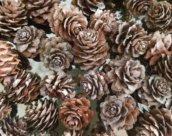 40 Deciduous Larch Tree Pine Cones--Flower Rosettes