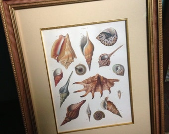 SALE 2 Vintage Seashell Lithograph in frames 600