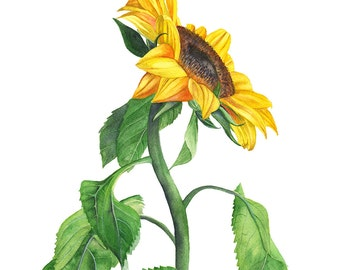Sunflower watercolour painting print, S111216, 5 by 7 size, sunflower watercolor print, botanical wall art, botanical art, flower print