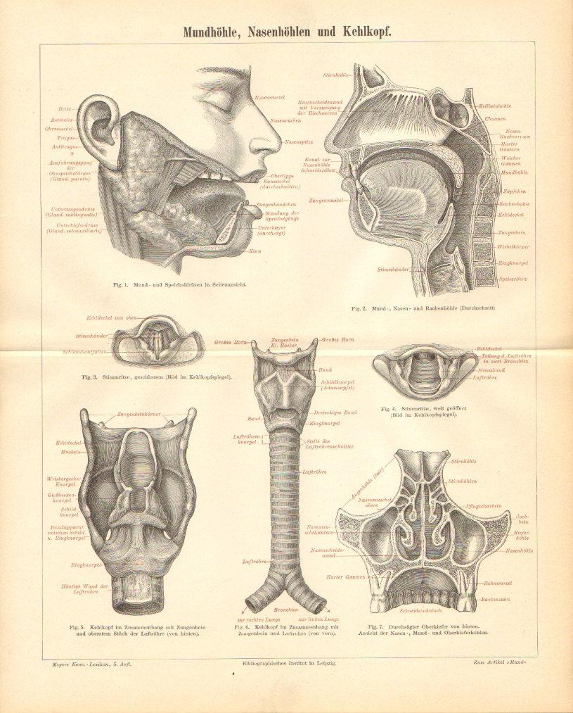 1896 Anatomy of the Oral Cavity Nasal Cavity and Larynx