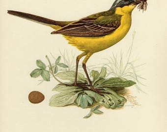 Vintage lithograph of the western yellow wagtail from 1953