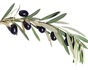 The Olive Branch Dupe Cosmetic Fragrance Oil Soap, Candle and Perfume Making, Wax Melts, Lotions, Bath and Body Products