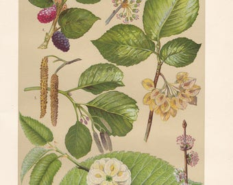 Vintage lithograph of wych elm, black mulberry, grey alder, european white elm from 1911